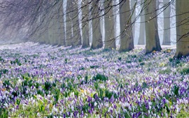 Preview wallpaper Crocus fields, trees, spring