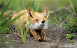 Cute fox stretched, grass