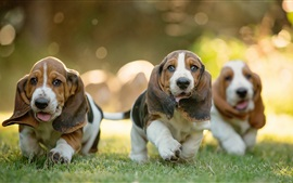 Dachshund dogs, three puppies walk in grass
