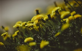 Preview wallpaper Dandelions flowers, yellow petals, blurry