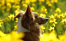 Dog and yellow flowers