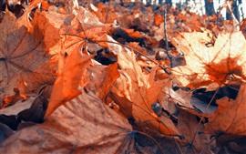 Seca hojas de arce, rojo, otoño
