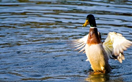 Preview wallpaper Duck dancing in water
