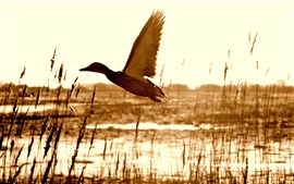 Preview wallpaper Duck flying, grass, lake