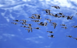 Preview wallpaper Ducks flying, blue sky