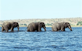Preview wallpaper Elephants walk in water