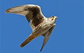 Halcón volando, alas, cielo azul