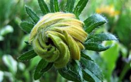 Pétalas de flor, planta, verde