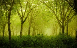 Foggy forest, green, trees