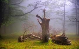 Forest, trees, fog, dawn