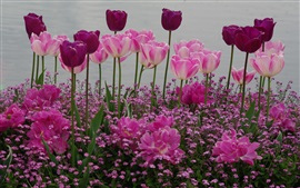 Preview wallpaper Garden flowers, pink and purple tulips
