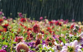 Preview wallpaper Garden flowers, rainy