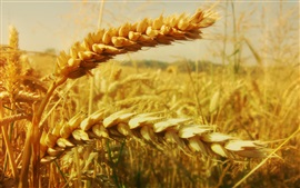 Golden wheat photography