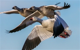 Preview wallpaper Goose flying, sky