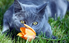 Gray cat found a tulip flower
