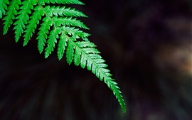 Verde, fern, folha, close-up