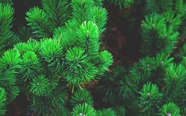 Preview wallpaper Green pine branches