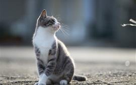 Aperçu fond d'écran Le chat gris regarde en arrière