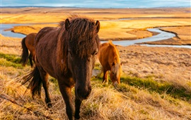 Horses eat grass, river