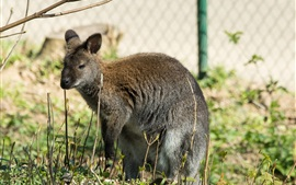 Kangaroo rest, grass, fence
