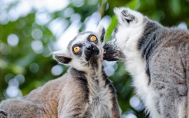 Preview wallpaper Lemurs couple, bokeh