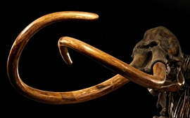 Preview wallpaper Mammoth, tusks, skeleton