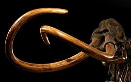 Mammoth, tusks, skeleton