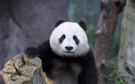 Preview wallpaper Panda portrait