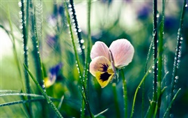 Pansies, flores cor-de-rosa, borradas
