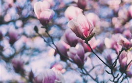 Pink magnolia flowers, twigs