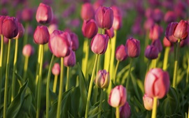 Preview wallpaper Pink tulips, garden
