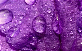 Preview wallpaper Purple flower petal macro photography, water drops