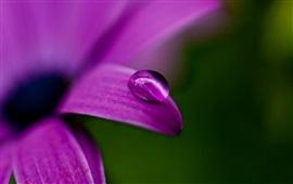 Pétalas de flores roxas, orvalho