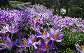 Aperçu fond d'écran Fleurs violettes, champ