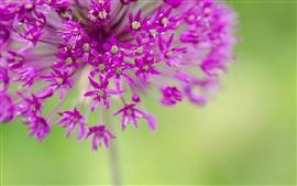 Flores púrpuras, pequeñas flores fotografía