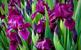 Preview wallpaper Purple irises flowers, green leaves