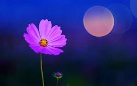 Фиолетовый космея цветок, блики