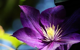 Roxo, pétalas, clematis, close-up, pistilo
