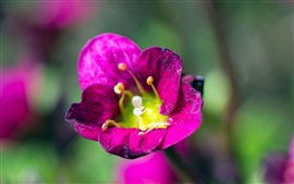 Purple petals flower close-up, pistil, bokeh