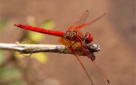 Preview wallpaper Red dragonfly, insect