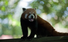 Preview wallpaper Red panda, tongue, blurry background