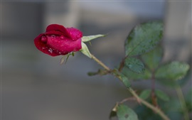 Preview wallpaper Red rose, dew, stem, bokeh