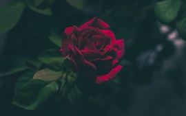 Rose in the dark