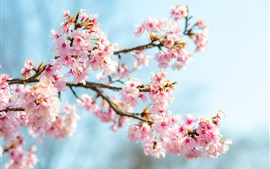 Preview wallpaper Sakura bloom, pink flowers, twigs, spring