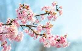 Flor de Sakura, flores cor-de-rosa, galhos, mola