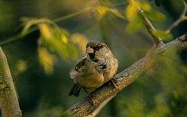 Воробей, пруты, птица крупным планом