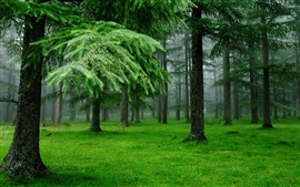 Spruce trees, forest, grass, fog