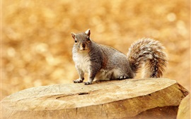 Squirrel, stump, bokeh