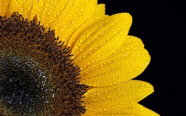 Sunflower petals, water drops