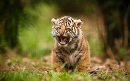 Preview wallpaper Tiger cub yawn